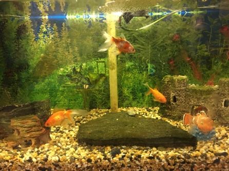 The goldfish tank with Princess, Goldilocks, Ginger and Spot.