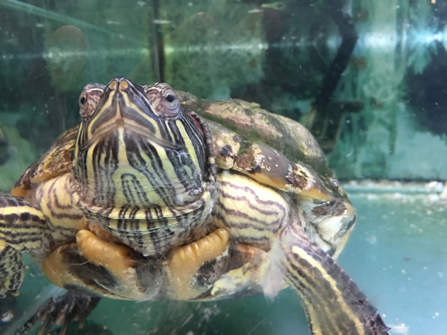 Our turtle Beanie Laumei.